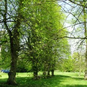Avenue of Lime Trees on the village green in Palgrave.